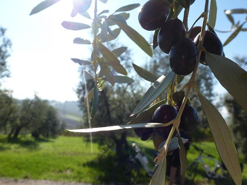 Gros plan sur olives dans olivier Abicyclette Voyages
