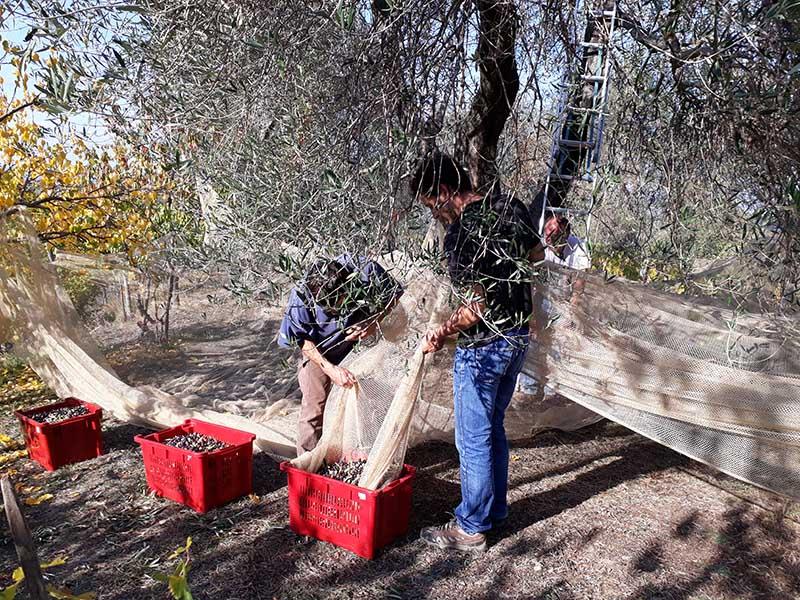 Hommes récoltant des olives Abicyclette Voyages