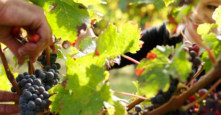 vigne de chinon