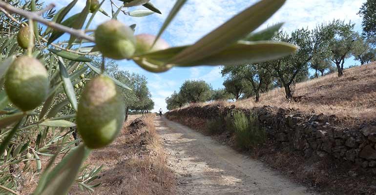 Cycliste sur un chemin de terre bordé d'oliviers La vallée du Douro