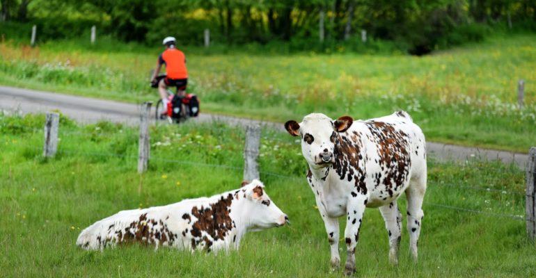Vélofrancette, vaches normandes, dep61, Basse-Normandie, France