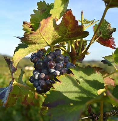 Les vignobles et terres de gastronomie à vélo