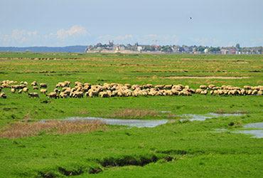 Moutons dans la Baie de Somme